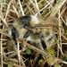 Bombus sylvarum (Shrill Carder-bee)
