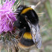 Bombus terrestris ssp. audax (Buff-tailed Bumblebee)