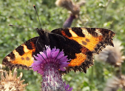 Fuji FinePix F600EXR.Compact Camera.Super Macro Study Of A Small Tortoiseshell Butterfly In Wind And Sunshine.September 22nd 2012.
