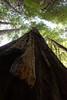 California Trip - June 2016 - Muir Woods Redwood
