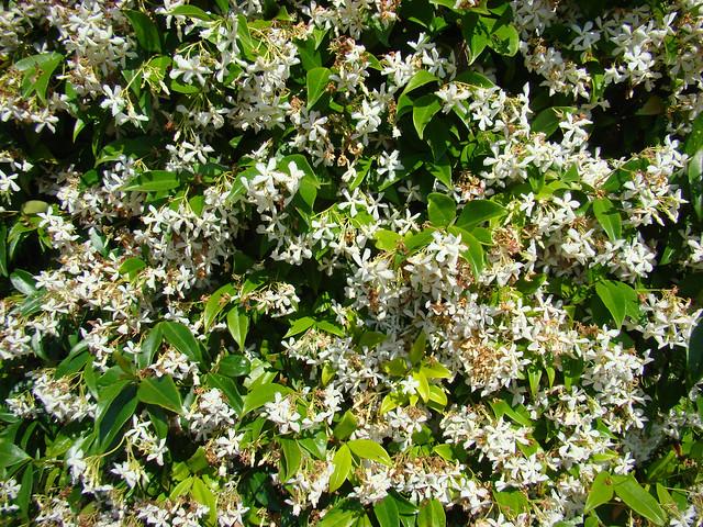 JASMIN etoile tres florifere., Sony DSC-H9