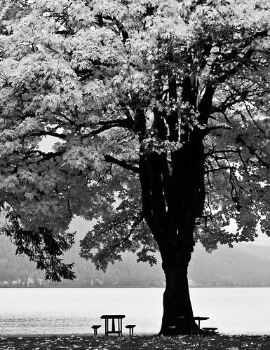 park travel autumn bw usa white lake black tree fall leaves canon is washington leaf big maple pacific northwest united shoreline powershot crescent invitation national rest states olympic s2