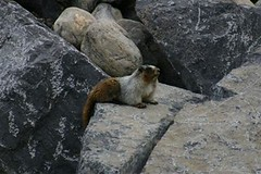 Hoary Marmot Sibbald Creek Alberta