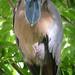 Boat-billed Heron (Josh Joshi)