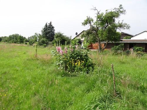 Stockrosen Permakulturbeet fern