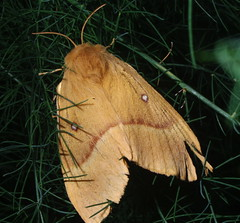 The oak eggar (Lasiocampa quercus)