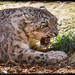 Snow Leopard (Panthera uncia) by Craig Jewell Photography