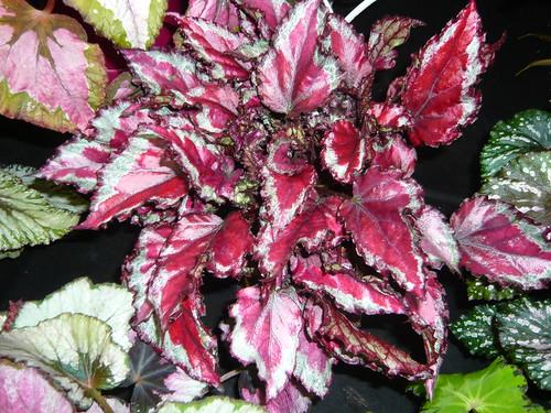 Begonia Rex varieties