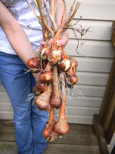 onion harvest 8-18