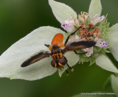 Trichopoda pennipes, Feather-legged Fly, on Pycnanthemum, Mountain-Mint