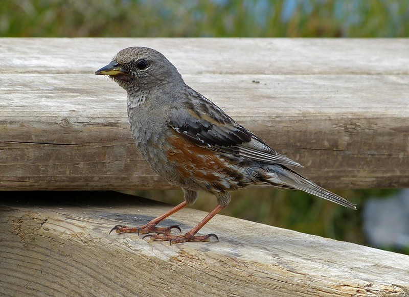 Alpine Accentor, Switzerland