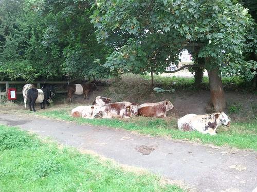 Random cows next to a path.