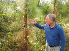On longleaf pine