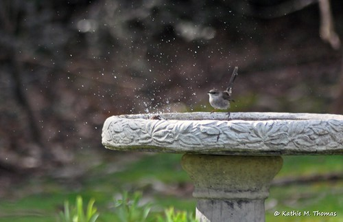 Superior Fairy-wrens enjoying birdbath