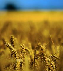 [Free Images] Flowers / Plants, Wheat, Field / Farm ID:201208290600