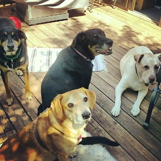 Did somebody say cookie? #dogstagram #dogsofinstagram #dogs #petstagram #instadog #rescue #adoptdontshop #mutt #hounds #deck #summer #dogtreat