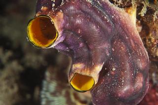 Kidney closeup (Polycarpa aurata)