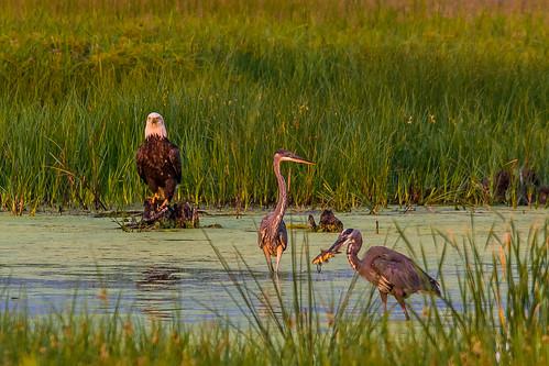 fish heron water grass birds fishing nikon eagle baldeagle sigma delaware 500mm egret bombayhook d3100