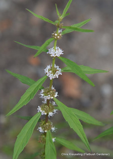 Whorled Inflorescences, Lycopus americanus, American water-horehound (ID TENTATIVE)
