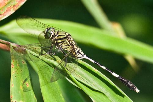 camo dragonfly