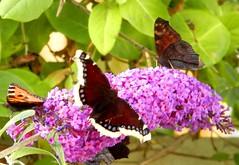 Perhosia, butterflies