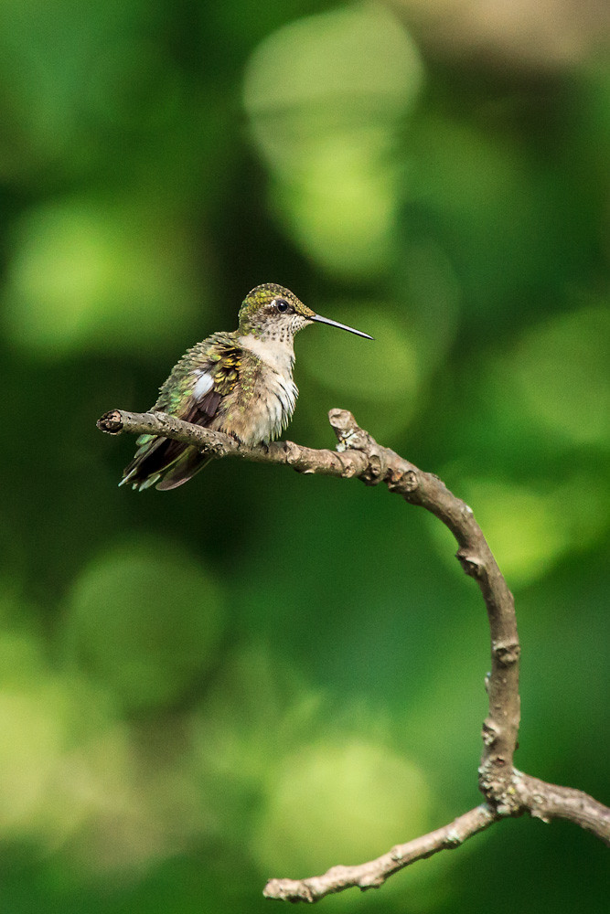 Hummingbird on a Stick