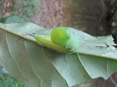 flower(0.0), mantis(0.0), bombycidae(0.0), plant stem(0.0), animal(1.0), leaf(1.0), invertebrate(1.0), insect(1.0), macro photography(1.0), green(1.0), fauna(1.0), close-up(1.0), plant pathology(1.0),