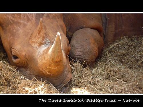 Orphaned Rhino