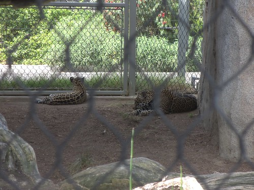 Jaguar and jaguar cub at San Diego Zoo