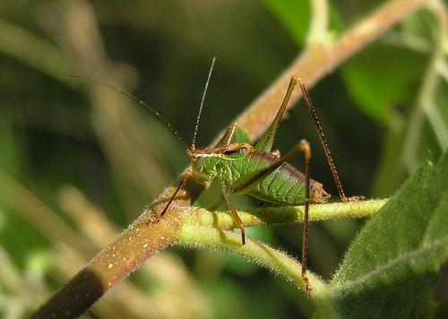 Leptophyes punctatissima - Leptophye ponctuée ou Sauterelle ponctuée  (♂) - Speckled bush-cricket - 07/09/12