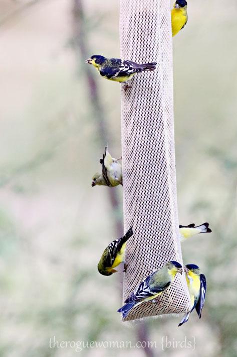 090212_04_bird_pass_goldfinch2