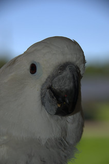 Jaycee  -- umbrella cockatoo