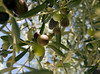 Olives in a tree, cropped by dan.oxlade