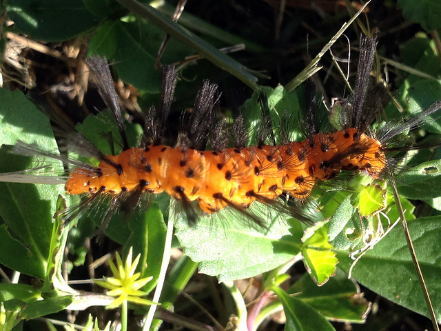 Polka-Dot Wasp Moth caterpillar