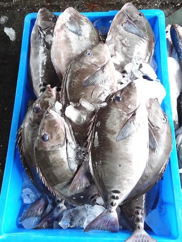從前不受青睞的黑豬哥,因為漁業枯竭,現在是魚市裡常見的熟面孔,只是消費端的我們,都不會知道牠原來長這副模樣。