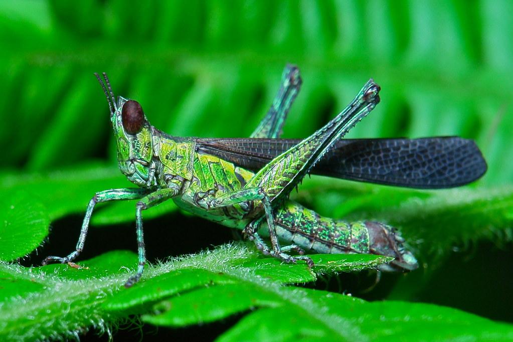 Monkey Grasshopper (Erianthus sp., Eumastacidae)