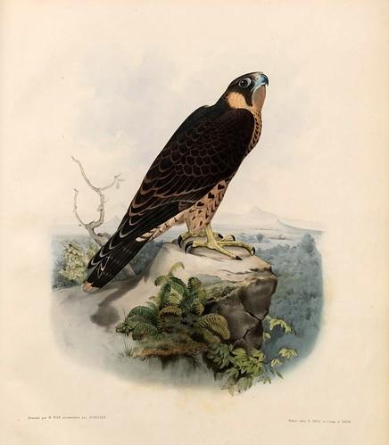013- Halcon sors macho con plumaje de cresserelle- Traité de fauconnerie..1853- Hermann Schlegel- Universität Düsseldorf