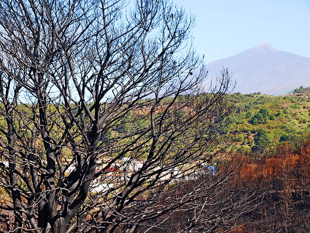 Burnt Tree and Mount Teide, Tenerife