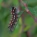 Euproctis similis - Yellow-tail Moth larva by BugsAlive