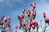 Un cielo de magnolias