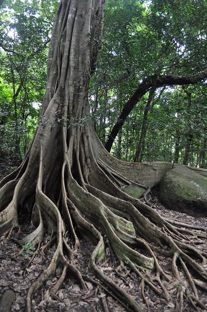 La vegetación del bosque nuboso es extraordinaria y caprichosa [object object] - 7748404120 613493d1ea z - Rincón de la Vieja, la columna vertebral de américa central
