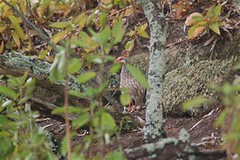 Red-necked Francolin on Green Mountain