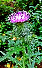 asterales, annual plant, flower, thistle, plant, wildflower, flora, silybum, artichoke thistle,