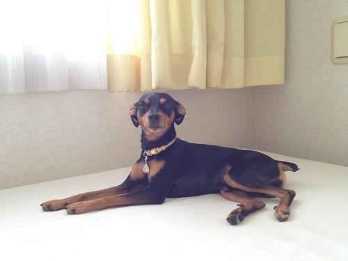 ロイヤル目線の黒犬。