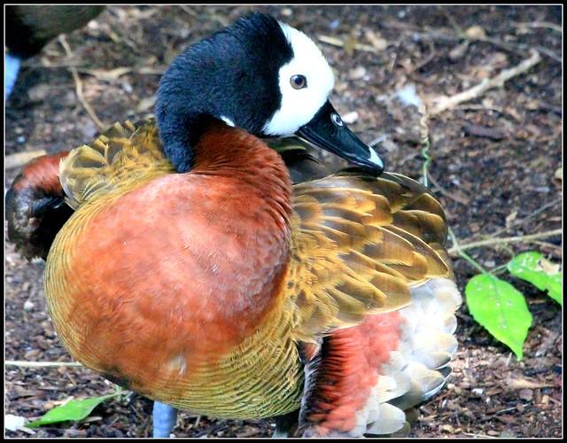 Ducks - Ducks