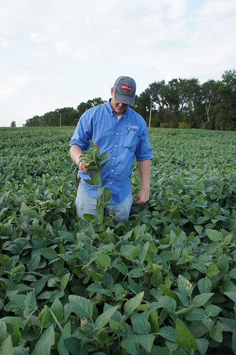 Difference in the height of the Soybeans