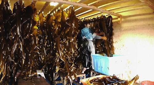 Kelp drying near Odaito (Hokkaido, Japan)