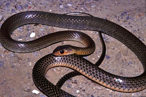 Chinese Rat-snake Ptyas korros