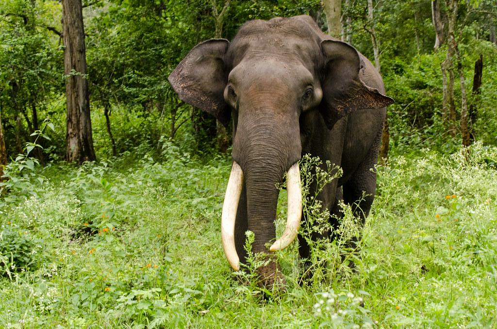 Картинки по запросу азиатский слон