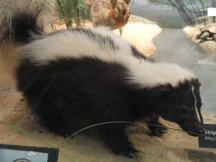 skunk(1.0), animal(1.0), fauna(1.0),